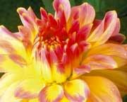 Анонс: Осени поздней цветы запоздалые